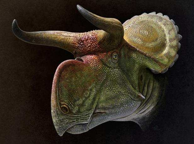 Cabeza de un Nasutoceratops