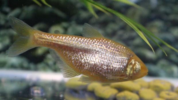 El pez tetra mexicano ciego («Astyanax mexicanus»)