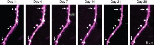 Las flechas señalan sinapsis (color magenta) que permanecen estables con el paso del tiempo