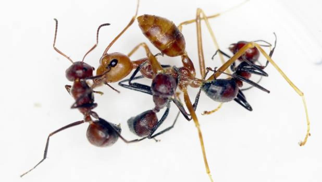 Descubren unas hormigas «bomba» que explotan ante el enemigo