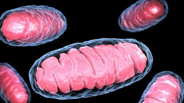 Representación de unas mitocondrias. Producen la energía de las células de los animales, plantas y hongos