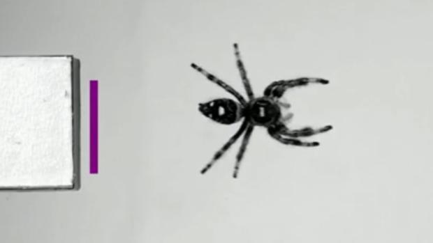 Científicos adiestran a una araña para saltar por primera vez