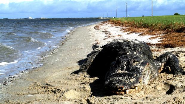 Un aligátor fotografiado en una playa. En algunos lugares han adoptado una dieta casi exclusivamente marina