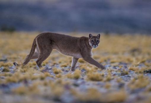 Los pumas, entre otros, están recuperando hábitats donde no habían aparecido en años