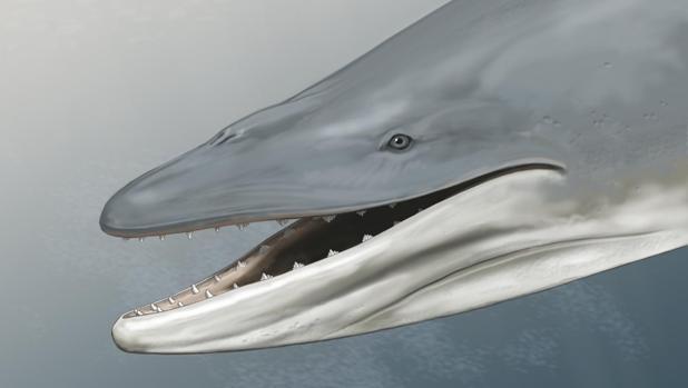 Representación de Llanocetus denticrenatus, una ballena fósil armada con dientes analizada en este estudio
