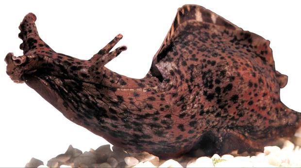 Aplysia californica, un caracol marino donde se han hecho estas investigaciones