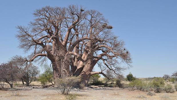 Los árboles sagrados de África se mueren y nadie sabe por qué