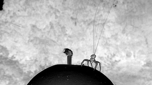 La araña cangrejo hace girar decenas de finas fibras de seda para desplazarse por el aire