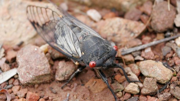 Cigarra negra. Hay especies que pasan varios años bajo la tierra y que evitan así a los depredadores