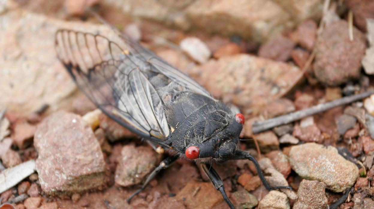 Black_cicada-kkvd--1248x698@abc