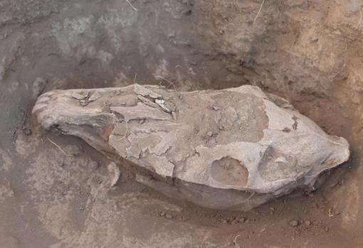 Cráneo de un caballo sacrificado de forma ritual, enterrado junto a sus pezuñas y los huesos del cuello, en Bayankhongor, Mongolia central