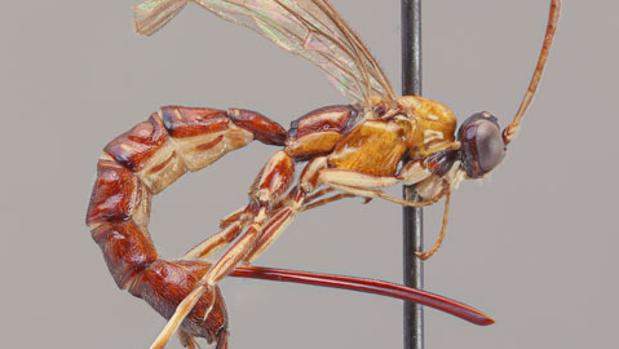 Una nueva especie de avispa desconocida para la ciencia difiere de otras avispas parasitoides debido a su aguijón masivo.