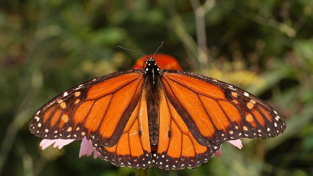 Las mariposas monarca tienen unos colores muy vistosos que avisan de su toxicidad a los depredadores