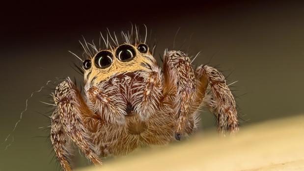 No todas las arañas son igual de horrpilantes. Pero existe una tendencia natural a identificar rápidamente la forma de la araña y a sentir rechazo o miedo