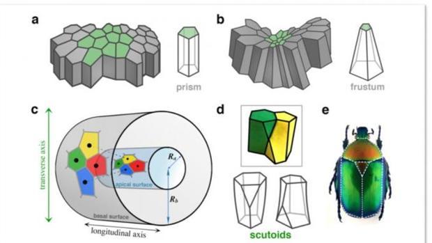 Los escutoides (d) tienen superficies curvadas y al menos un vértice en un plano distinto a las dos bases. Adoptan su nombre de una pieza (e) del tórax de escarabajos