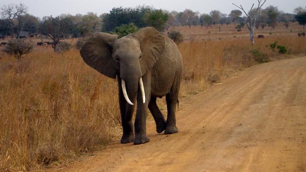 Un elefante africano en Tanzania