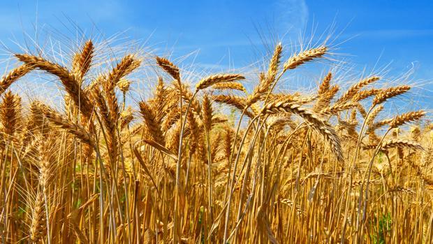 Descifrado el genoma del trigo, el cereal más cultivado del planeta
