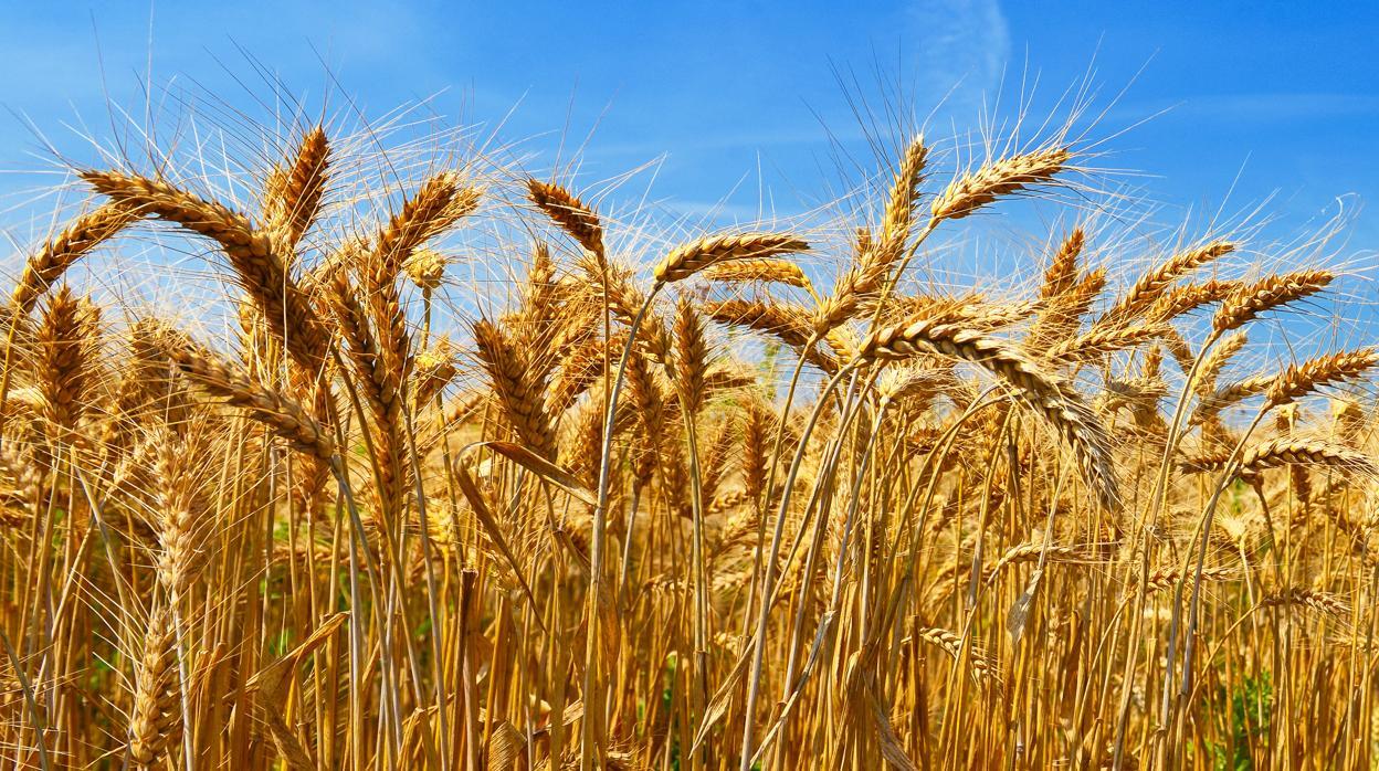 Dibujo Del Grano De Trigo: Descifrado El Genoma Del Trigo, El Cereal Más Cultivado