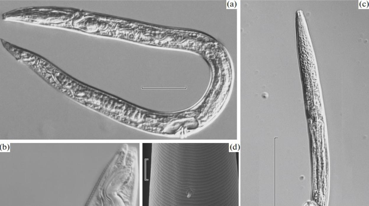 Resucitan gusanos de hace 42.000 años a causa del deshielo en Siberia