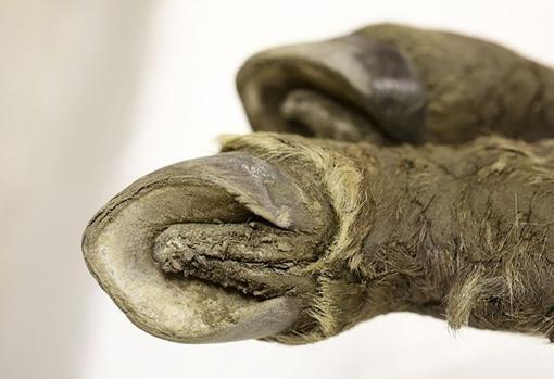 Detalle de las pezuñas de la cría prehistórica hallada
