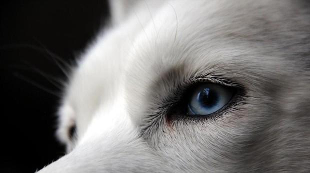 Un husky siberiano con los ojos azules