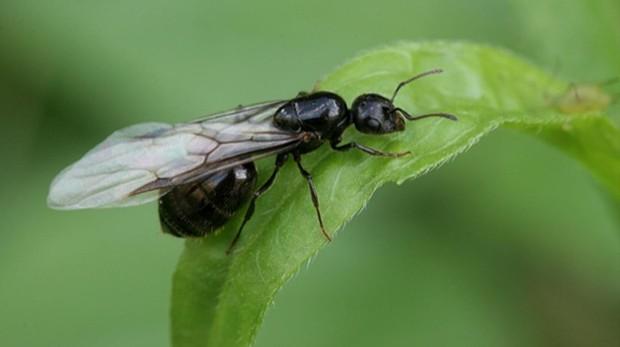 Una hormiga alada durante su vuelo nupcial