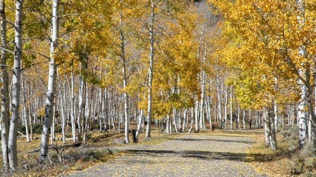Todos los árboles de la imagen forman parte de uno solo llamado Pando, con un enorme entramado de raíces
