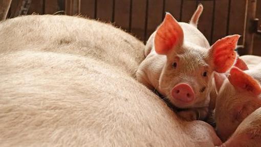 Cerdos en una granja española