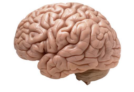 Nada sobra en el cerebro, según lo averiguado por los científicos