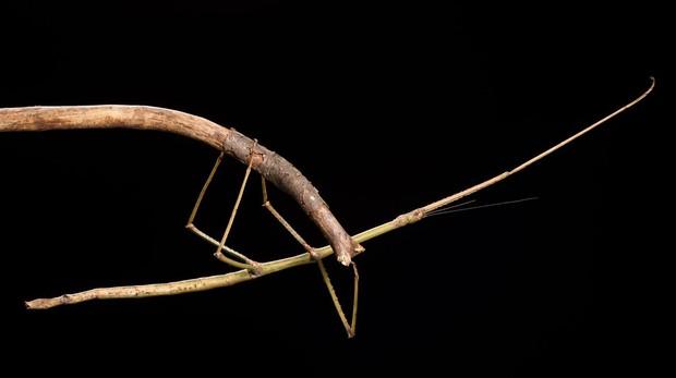 Encontrado en el Parque Nacional de Tam Dao (Vietnam), este insecto palo mide cerca de 23 centímetros de largo