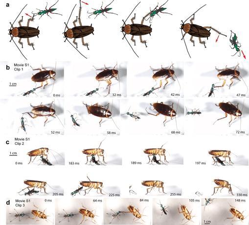 Secuencia de defensa de la cucaracha, fotograma a fotograma
