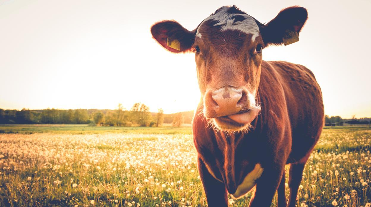 Las vacas duermen mirando al norte