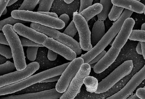 Microfotografía de bacterias «Escherichia coli», del grupo de las Proteobacterias. Se han hallado microbios en este grupo dentro de células de cerebros humanos