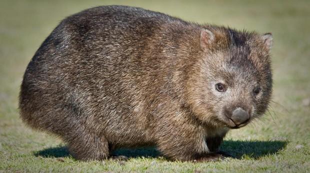 El enigmático wombat, el único animal que produce heces en forma de cubo