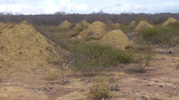 Los montículos de termitas se encuentran cubiertos de vegetación y se pueden ver cuando la tierra es despejada para pastar
