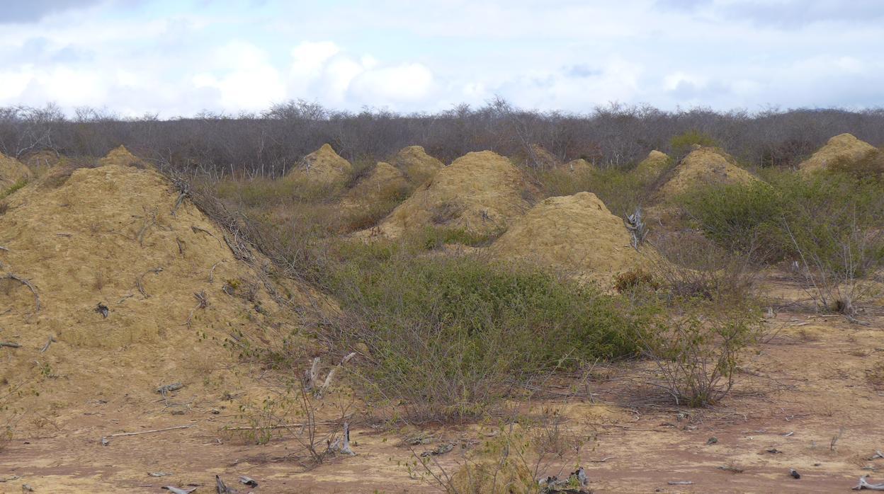 Hallan en Brasil una «megaciudad» de termitas tan antigua como las pirámides visible desde el espacio