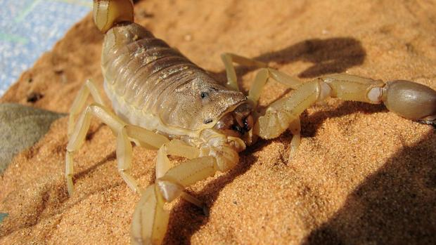 El escorpión de cola gruesa es el responsable del 90% de las muertes por picadura de escorpión en África