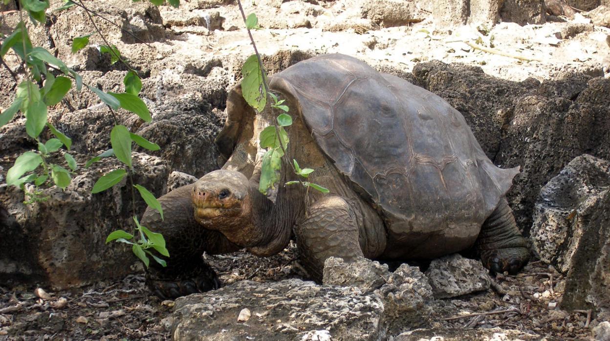 Solitario George revela el secreto de la longevidad de las tortugas gigantes
