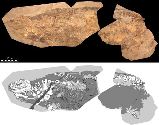 Representación fotográfica (arriba) y diagramática (abajo) del fósil de 85 cm de largo (que corresponde a aproximadamente la mitad de la longitud original del animal)