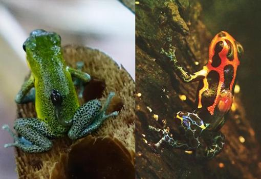 En estas ranas venenosas, el cuidado de los padres incluye el transporte de renacuajos uno por uno después de la eclosión a pequeños charcas. En la no monógama (Oophaga pumilio, izquierda), las mamás realizan esta tarea; sin embargo, en la monógama (imitador de Ranitomeya, a la derecha) este es un trabajo masculino