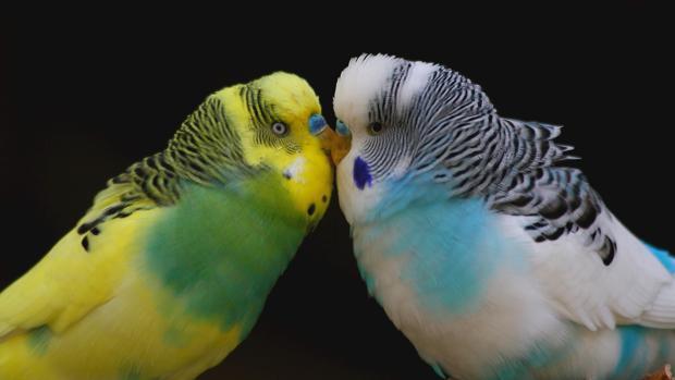 Las periquitos hembra prefieren los machos inteligentes, según un estudio publicado en «Science»
