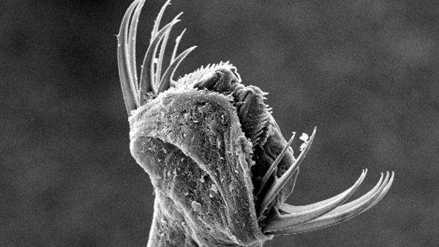 Los quetognatos, o gusanos de flecha, tienen una estructura mandibular distinta compuesta por una matriz densa de proteínas y una sustancia fibrosa llamada quitina