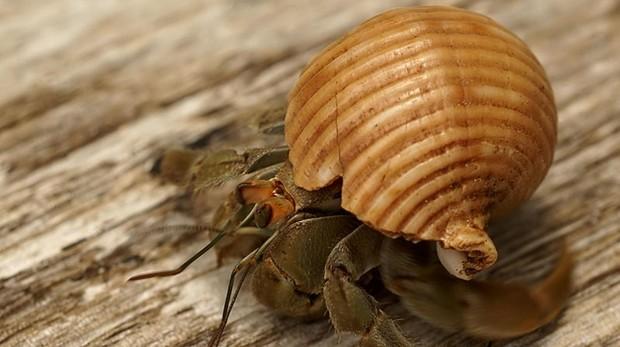 Imagen del cangrejo ermitaño de la especie Coenobita compressus