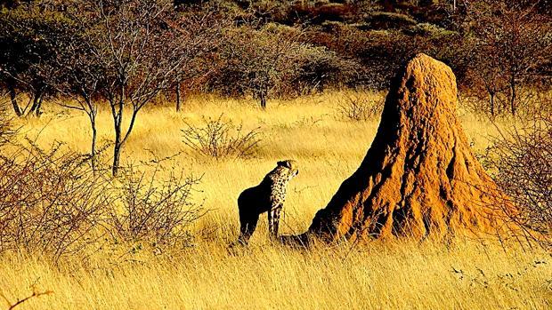 Guepardo acecha alrededor de un montículo de termitas de un metro de altura en Namibia