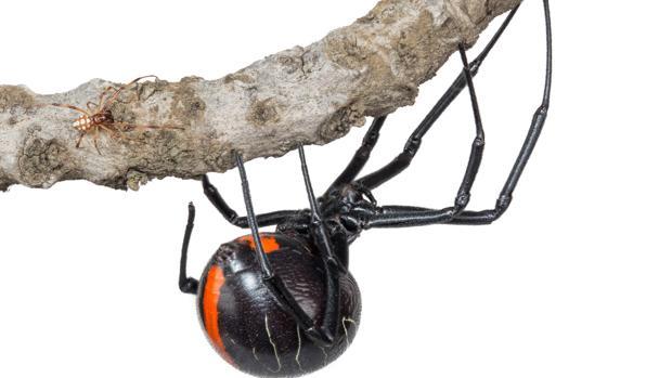 La hembra de la Phinda Button (negra) junto al macho de su especie (marrón)