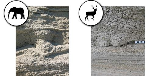 Huellas de elefante y de ciervo hallada sobre el terreno