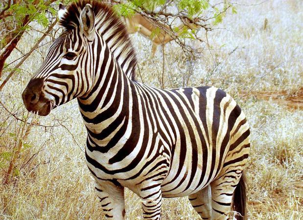 Las cebras evitan muchas picaduras gracias a su patrón de rayas blancas y negras