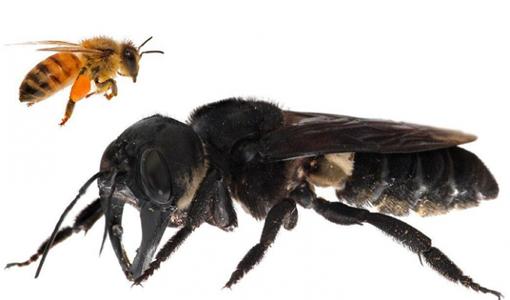 La comparación de una abeja común con una gigante de Wallace