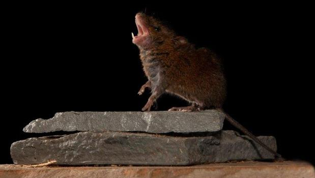 Ratones que cantan arrojan luz sobre la conversación humana
