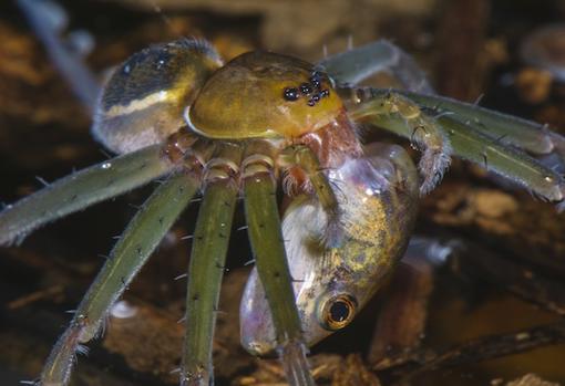 Una araña pescadora (género Thaumasia) cazando un renacuajo en un estanque
